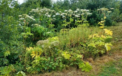 Control of giant hogweed in a public park