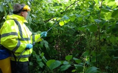 Japanese Knotweed Removal Cost