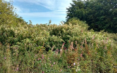 Clearing Japanese knotweed from farm land