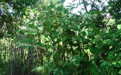 Herbicide treatment of Japanese knotweed in the client's back garden