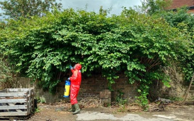 Herbicide treatment of Japanese knotweed on commercial land